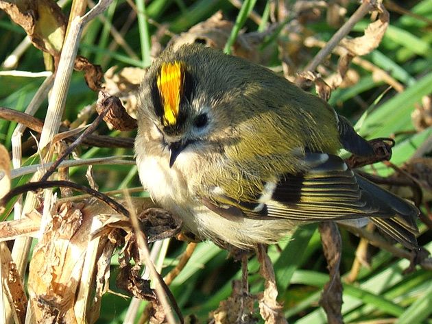 Common Goldcrest