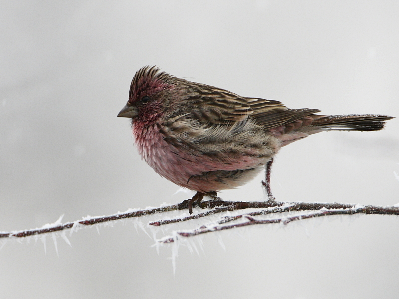 Beautiful Rosefinch