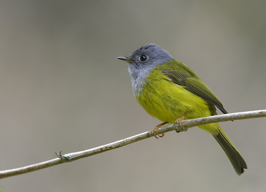 Gray-headed Canary Flycatcher