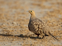Chestnut-bellied Sandgrouse (male)