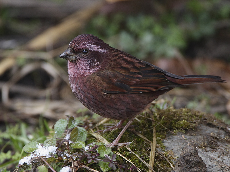 Dark-rumped Rosefinch