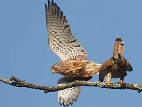 Common Kestrel pair