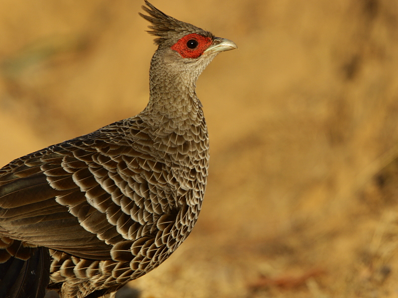 Kalij Pheasant (female)