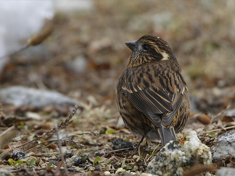White-browed Rosefinch (female)