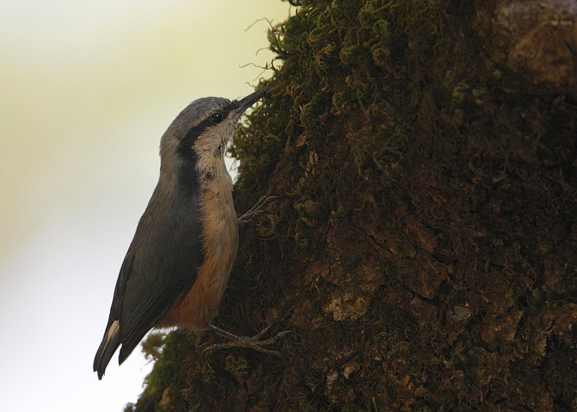 White-tailed Nuthatch
