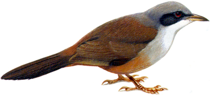 Wynaad Laughing Thrush